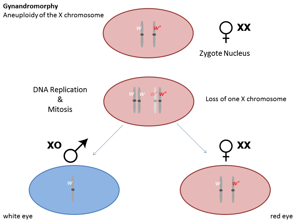 an analysis of the male and female chromosomes in the human body A chromosome study normal human from a normal human b cut each chromosome out and set the a normal human karyotype of a male or a female.