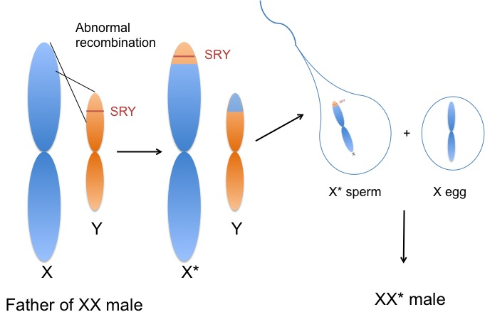 ... results in ... Y Chromosome Sperm