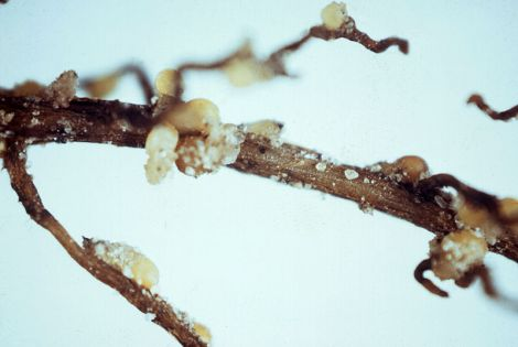 Segment of soybean root infected with soybean cyst nematode. Signs of infection are brown-white females or cysts with egg masses that are attached to root surfaces.