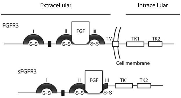 fgfr3-diagram